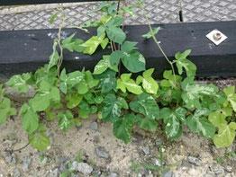 庭土に植えた朝顔