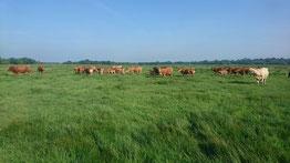 Vaches de Mareil Marais du Syl