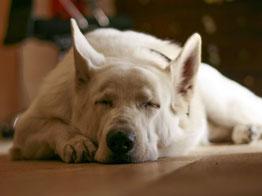 Un chien berger blanc suisse dort sur un parquet marron par coach canin 16 educateur canin en charente