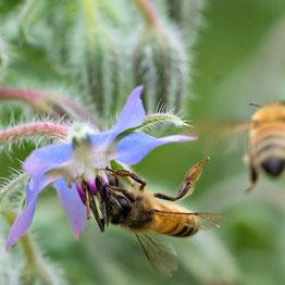 Das Küchenkraut Borretsch ist beliebt bei Bienen.
