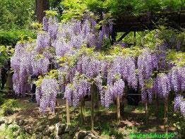 春日大社 万葉植物園 藤の花