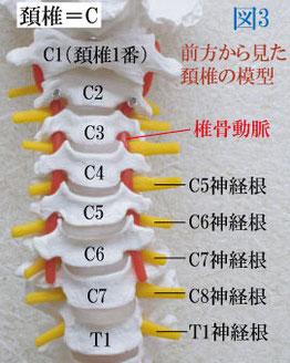 頚椎神経根