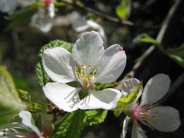 ユスラウメ梅桃の花言葉「郷愁」 姫リンゴの花に、そっくりです。