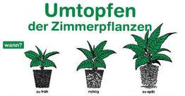 Cannabis Hanf Pflanze wann umtopfen?