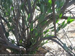 ❦ 原種ホホバ灌木の根元から新芽が伸びているのが印象的です。同時にアリゾナ砂漠に生長する原種ホホバの生命力の強さに感動です。