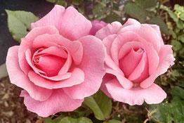 cosmétiques du québec 100% naturels à la rose et au raisin antirides