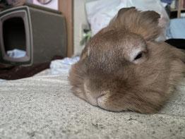 寝ているウサギ