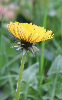 Les Plantes dans tous les sens-Pissenlit en fleur