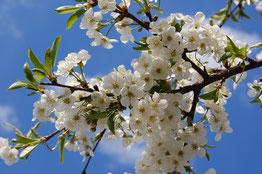 blühender Kirschbaumzweig, blauer Himmel