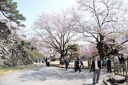 懐古園の桜はちょっと散りかけ