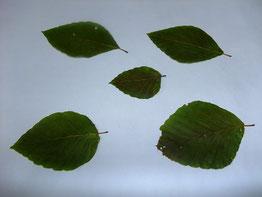出来上がったブナの葉の落ち葉栞