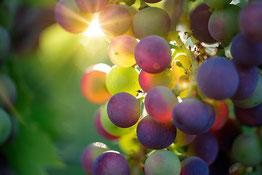 une grappe de raisin sur un cep de vigne au soleil par coach canin 16 educateur canin en charente