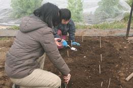 オーガニックじゃがいもの種イモ植えつけ体験。芋掘り体験。