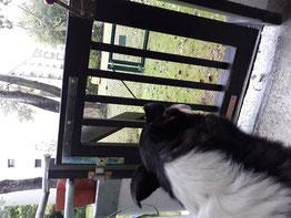 Blade, von hinten fotografiert, sitzt an der Gartentür und schaut hinaus, dabei lässt er die Ohren hängen. Es regnet.