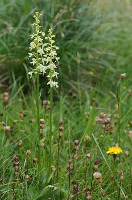 Zweiblättrige Waldhyazinthe Natur des Jahres 2011 Orchidee des Jahres 2011 NABU Düren