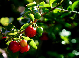 Proprietà e benefici dell'acerola