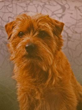Norfolk Terrier - Red Pepper Mick