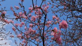 河津さくら3分咲でピンク色に染ま始めました