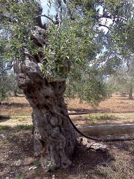 olivenbaum apulien maria caputo