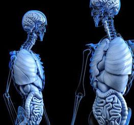 Körperorgane und ihre Bedeutung