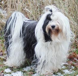 Tibet Terrier Zuchthündin Joyce