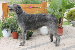 Scottish Deerhound Welpen/Deerhound Würfe in Deutschland/Schottische Windhunde aus VDH Zucht!