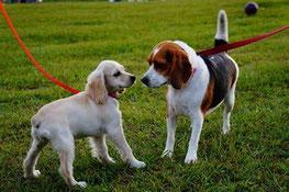 deux chiens en laisse un caniche blanc et un beagle marron et noir se regardent par coach canin 16