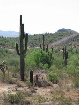 Saguaro-Kaktus