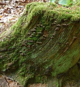 Rotbrauner Borstenscheibling (Hymenochaete rubiginosa)