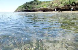 ウミショウブの雄花が海面を彩った=13日、石垣市野底(提供写真)