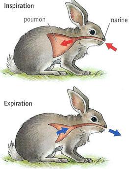 Mouvement respiratoire du lapin.