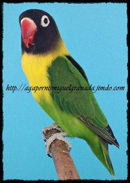 aviario miguel granada, personatus green wildtype, personata ancestral verde ino, agapornis