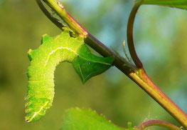 Eulenraupe frißt auf Aprikosenbaum, Foto: U. Postler