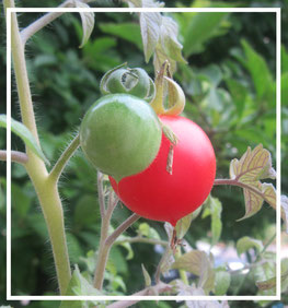 Tomaten©christinaBecker