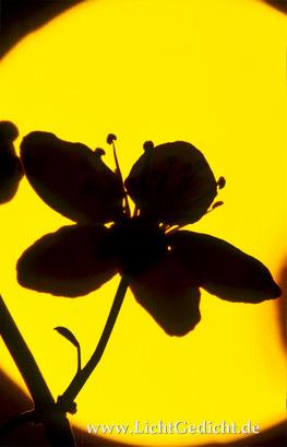 Bild 17: Mirabellenblüte (Prunus domestica) im Gegenlicht, Nikon F 100, Nikkor 2.8/105mm Micro, Kodak Elite Chrome 100 Extra Colour
