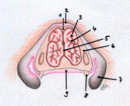 Abb Längsschnitt durch die Nase