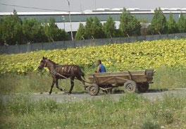 13. August 2015 - Wo Bauern keine Mercedes haben (Rumänien)