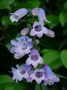 Penstemon / Bsartfaden und englische Blumensaaten bei www.the-golden-rabbit.de