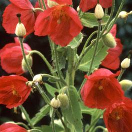 Hesperis / Nachtviole - Englisches Saatgut für Blumen bei www.the-golden-rabbit.de