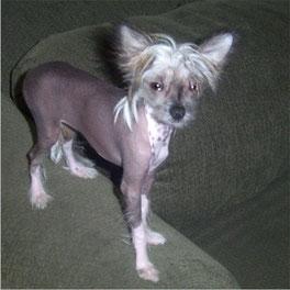 Poils ou chihuahua sans poil