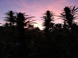 coltivazione della canapa 2020