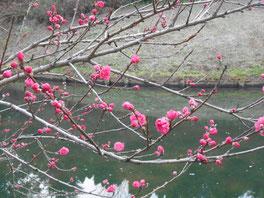 桃もきれいに咲いていました。