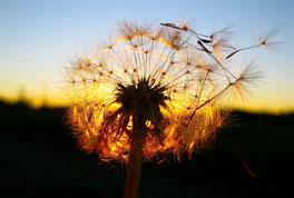 www.ronaldosephius.nl Paardenbloem zaadjes zon wind Bewust Groeien vanuit Innerlijk Kracht!