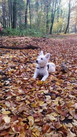 Fine, weißer Schäferhund