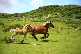 Traslado de hípica, traslado de yeguada, cambio de hogar, caballo , cuadra, box, transporte de urgencia de caballos, traslado de urgencia de caballos
