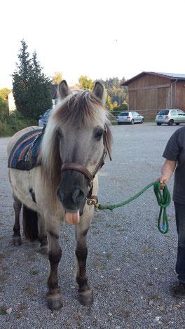 Vulkan - Hippotherapie-Pferd