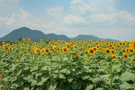Sonnenblumen in Saraburi