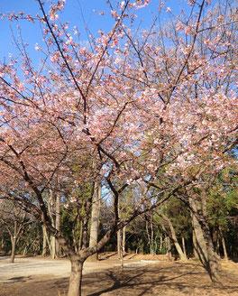 西園には桜の花が