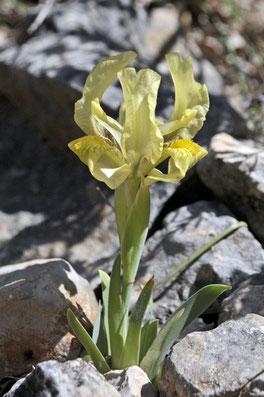 typiques de la région méditerranéenne, les iris nains ou jaunâtres (qui peuvent être aussi violets), fleurissent en abondance dès les beaux jours