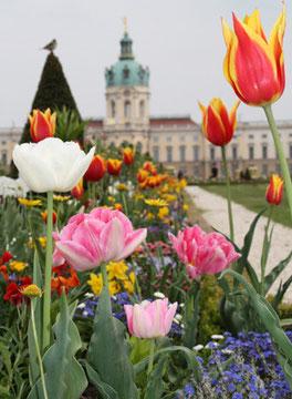 Frühlingsblumen im Barockgarten vor dem Schloss Charlottenburg. © Foto von Helga Kar
